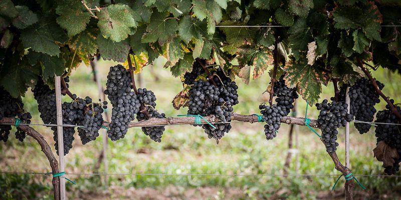 vineyard-black-grapes